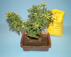 Bonsai Root Pruning and Repotting