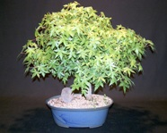 Top Growth Pruning Japanese Maple