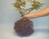 Root Pruning Japanese Maple